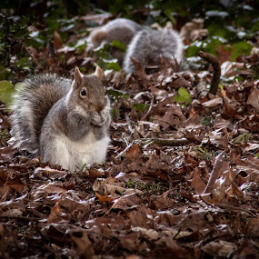 by Bradley Foot - Animals Other Mammals ( squirrel, nature, woods, animals, canon,  )