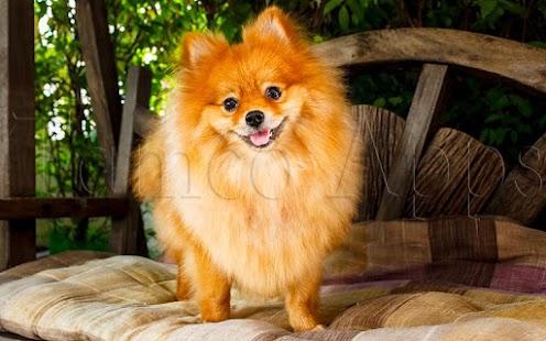 Tile Puzzle Pomeranian Dogs - náhled
