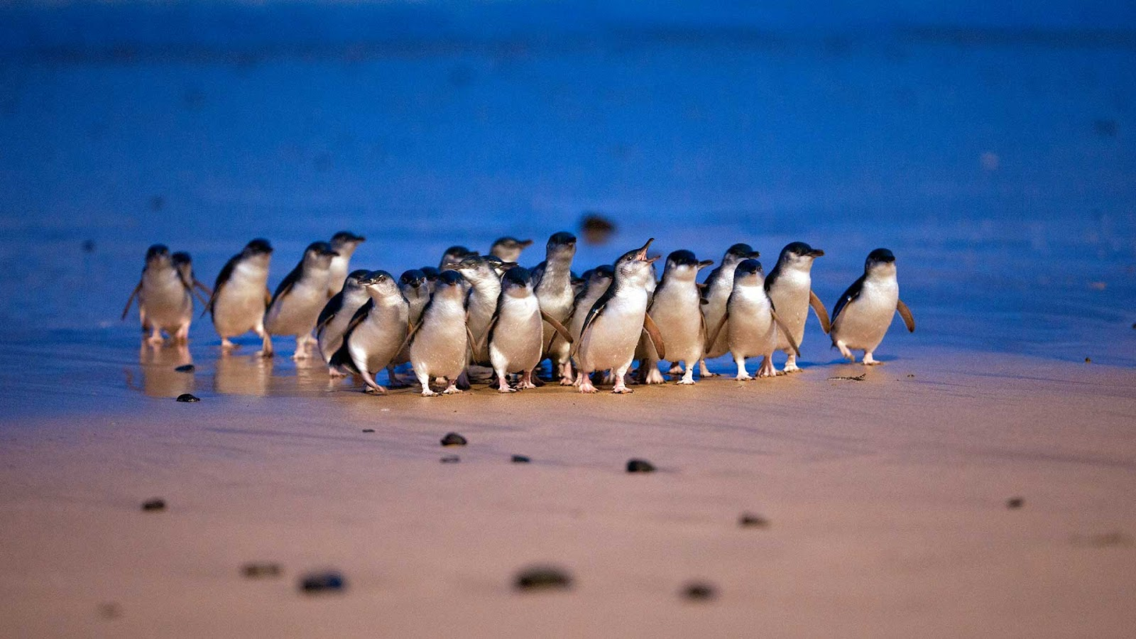 phillip island penguin parade 100 things to do in melbourne with kids