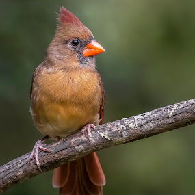 Female Northern Cardinal by Don Young - Animals Birds ( nature, northern cardinal, bird photography, bird, cardinal,  )