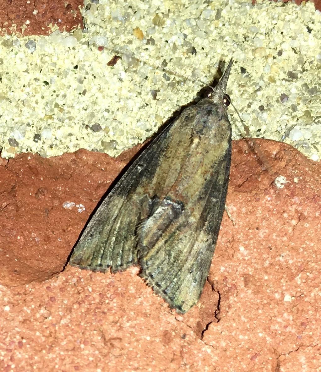 Green Cloverworm Moth