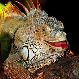Mal élevé by Gérard CHATENET - Animals Reptiles