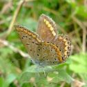 Common blue_female