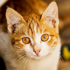 Tiger Eyes by Azher S Saleh - Animals - Cats Kittens ( cat )