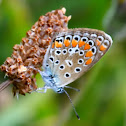 Common Blue; Dos puntos