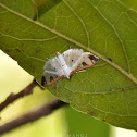 Olive Shootworm Moth