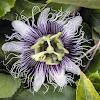 Purple Granadilla