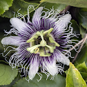 Purple Granadilla