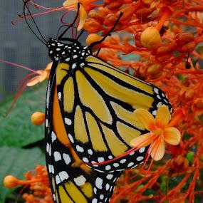 by Jean-Pierre Machet - Uncategorized All Uncategorized ( papillon butterfly,  )