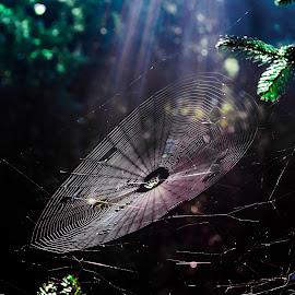 Sunlit Spider web by Andrew Savasuk - Nature Up Close Webs ( arachnid, spider, web, insect, spider web, sun rays, sun )