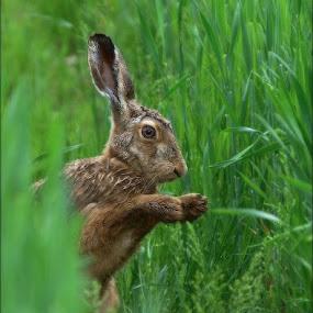 The Bugs Bunny by Zvonko Ferčič - Animals Other Mammals