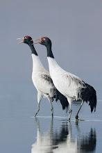Photo: Black-necked Crane: Crus nigricollis, Napa Hai, Zhongdian, Yunnan, CHINA< Critically Endangered