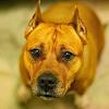 Casse-croûte américain Staffordshire Terrier APK