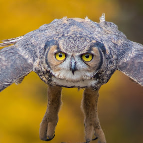 Eyes by Bill Killillay - Animals Birds ( horn billed, bill killillay, owl, great horn billed owl, flighted owl's, 5d mk iii )