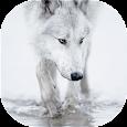 Wolves live wallpaper apk