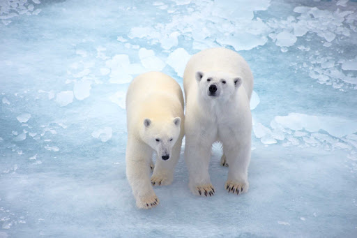 Ponant-Leopold-Island-polar-bears.jpg - See polar bears and other wildlife during a cruise to Prince Leopold Island in the arctic regions of Canada.