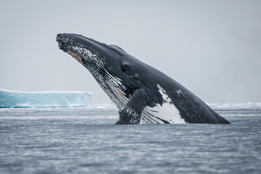 Ponant-whale.jpg - A humpback whale breaches the surface, seen on a Ponant cruise.