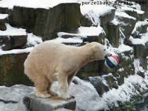 Photo: Knut hat einen Ball entdeckt :-)