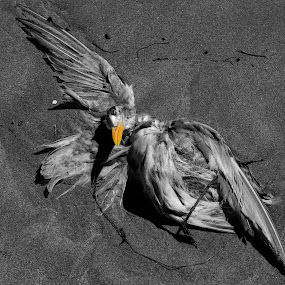 DEAD BIRD by Marc-Andre Grenier - Black & White Animals ( sea bird, black and white, death, yellow, beach,  )