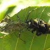 Wheel Bug with Prey (male Eastern Carpenter Bee)