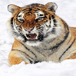 Tiger Snowfall Live Wallpaper