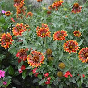 by Drrashid Taj - Flowers Flower Arangements ( spring flowers, springs, springtime, spring, flower,  )