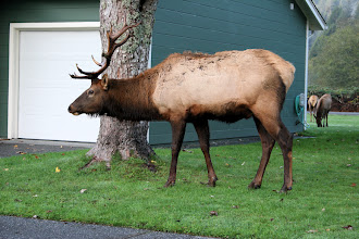 Photo: Roosevelt Elk, Prairie Creek, CA 2009