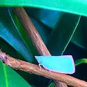 Citrus planthopper
