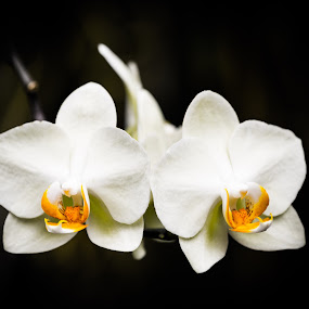 Incredible Beauty of the White Orchid by David Kotsibie - Flowers Flower Gardens ( orchid, orchids, white, beauty, flowers, garden, flower )