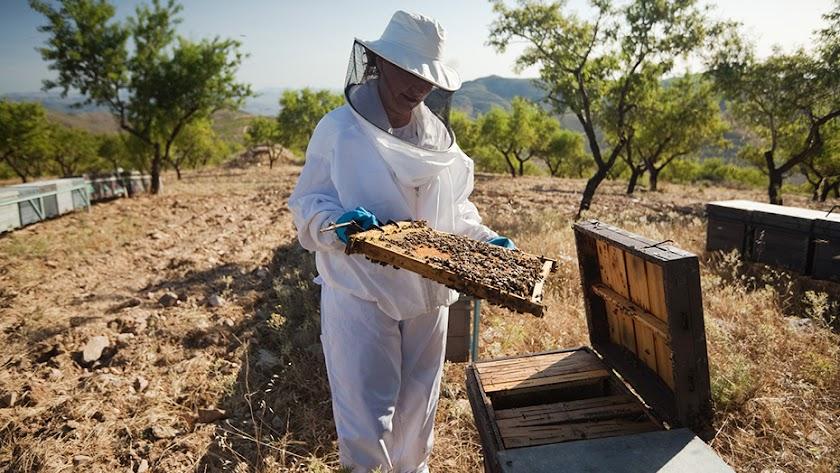 Una apicultora manejando una colmena en la provincia.