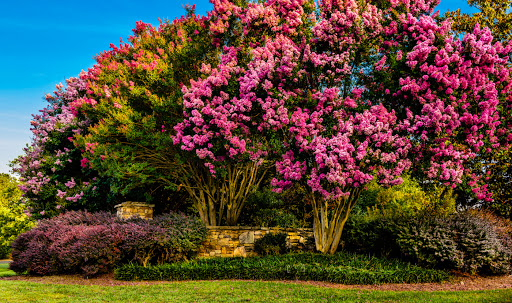 Swayed into sharing a lifelong secret that only the crepe myrtle trees know