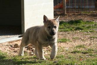 Photo: atena sibillini wolf