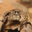 Langona Jumping Spider(Female)
