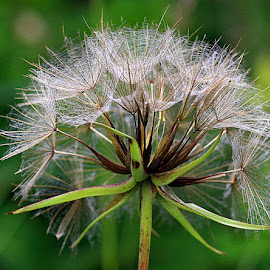 Seeds by Chrissie Barrow - Nature Up Close Other plants ( plant, wild, green, jack-go-to-bed-at-noon, sedhead, brown, meadow salsify, seeds, bokeh, cream )