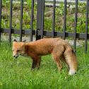 Red fox 赤狐