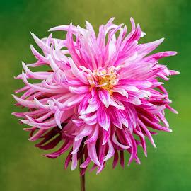 Purple & White Dahlia by Jim Downey - Flowers Single Flower ( gold, green, white, dahlia, purple )