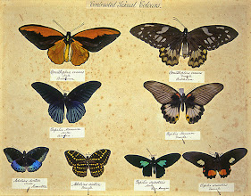 Photo: Drawer of butterflies illustrating sexual dimorphism (where the sexes are different in appearance) from Alfred Russel Wallace's private insect collection. This shows the collection before it was purchased by the Natural History Museum, London and transferred into different drawers. Copyright George Beccaloni