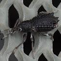Coleoptera curculionidae