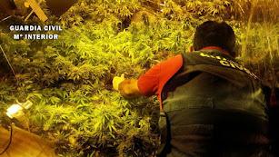 Un agente de la Guardia Civil inspecciona la plantación.