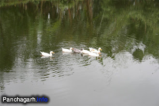 Photo: Ducks in a village pond of Panchagarh