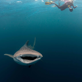 whales shark and snorkeller by Paul Cowell - Animals Fish ( diver, snorkeller, whale shark, animal )