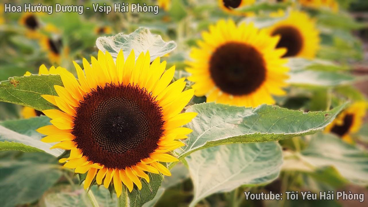 Vườn hoa Hướng Dương - Central Park Vsip Hải Phòng 7