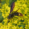 Two-spotted Scoliid Wasp