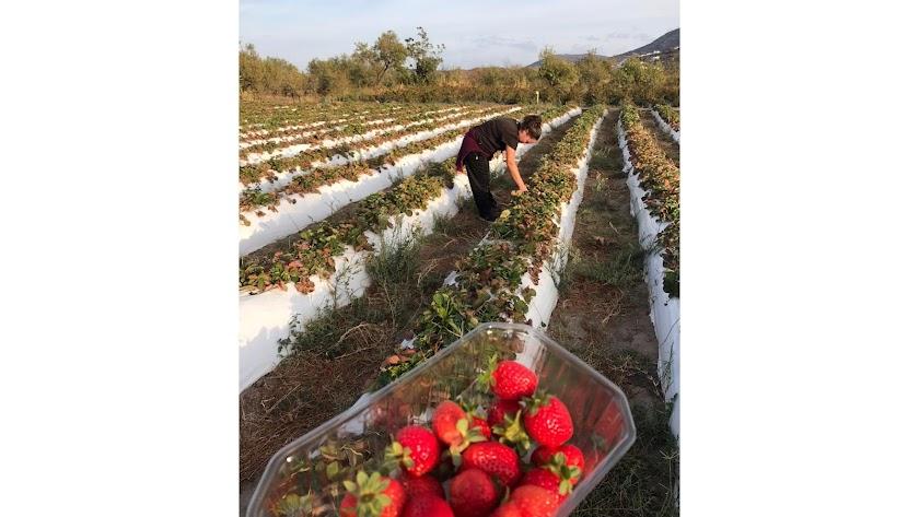 Manoli Martín recolectando sus fresas en Abrucena hace unos días.