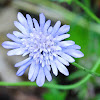 Whole-leaved Scabious