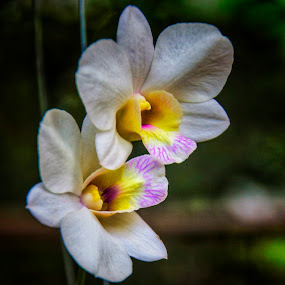 Orchids by Frans Priyo - Flowers Flower Gardens ( flora, colors, artistic objects, flower )