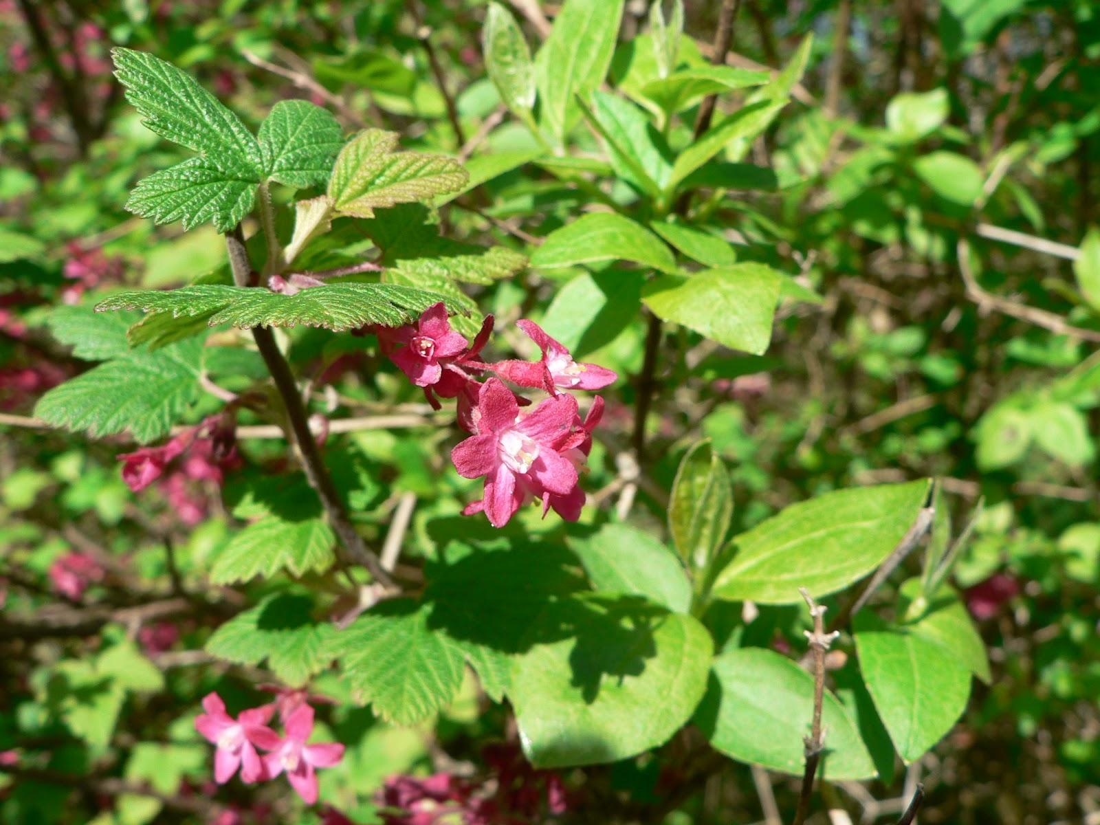 File:Ribes sanguineum 03759.