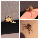Ground Crab Spider