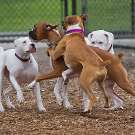 by Jim Jones - Animals - Dogs Playing ( boxer dog, dogs playing, dogs, dogs running, dog park )