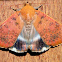 Semi Looper Moth
